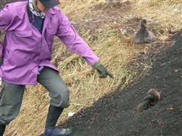 アホウドリ土砂流入に埋もれた・繁殖地、鳥島南部の燕崎.jpg