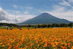富士山とキバナコスモス・山梨県山中湖村.jpg